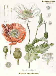 opium-poppy3
