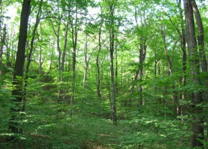 Beech-maple climax forest