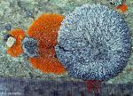 Circular lichens