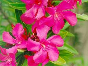 oleander-03-big1