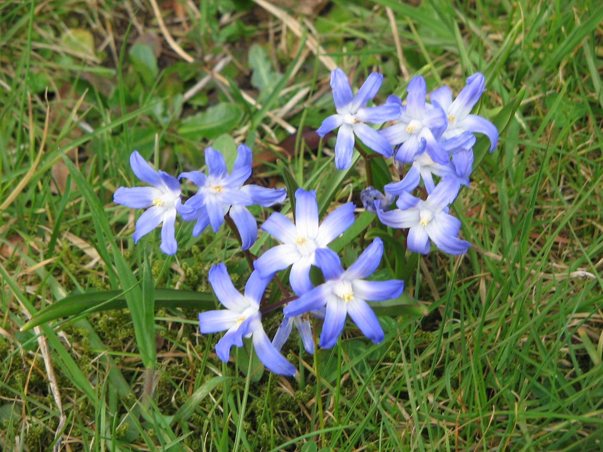 Little Blue Flowers Of Spring Flower Press