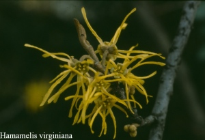 Hamamelis virginiana flower
