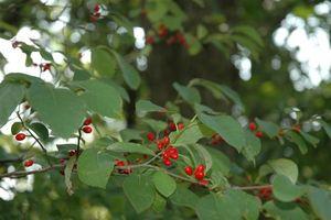 Lindera benzoin berries