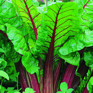Rhubarb stalks and leaves