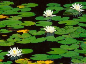 The fragrant water lily.