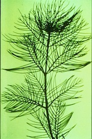 The highly dissected leaves of Eurasion milfoil, an invasive species in the U.S.