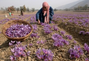 Growing saffron