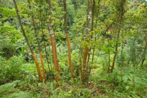 Coppiced cinnamon trees