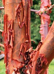 The inner bark