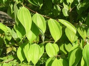Leaves of Cinnamomum