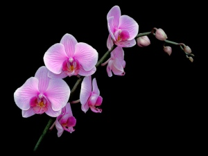 A Phalaenopsis variety