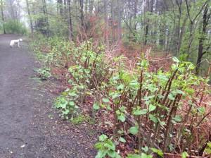 Invasive knotweed