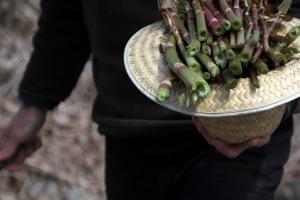 Harvesting knotweed stems.