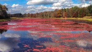 Natural cranberry bog