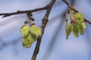 American elm seeds