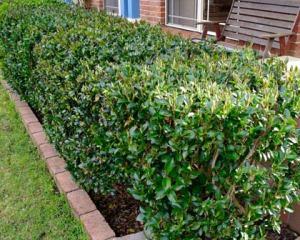 Camellia sasanqua hedge