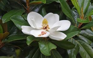 Magnolia grandiflora of the southeastern U.S.