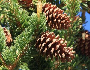 Bristlecone pine cones; note bristles at the tips of the scales.