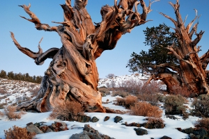 Great Basin bristlecone pines