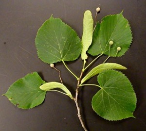 Basswood leaves with bracts and fruit