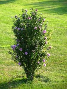Usual full habit of rose of Sharon