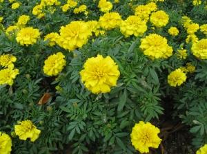 """Tagetes patula """"Bonanza Yellow"""""""