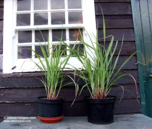 Potted lemon grass