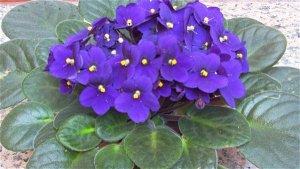 Potted African violet