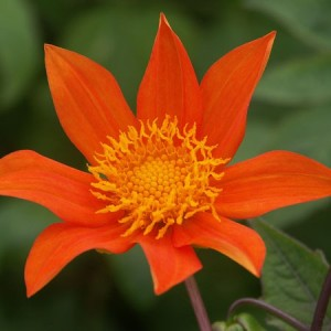 Dahlia coccinea, a wild Mexican species