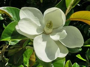 Ficus elastic flower