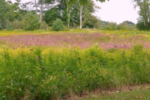 Goldenrod and late summer Joe-Pye weed