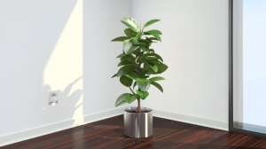 Rubber tree as house plant
