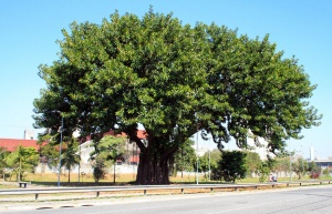 Rubber tree as street tree in Brazil