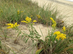 Seaside goldenrod at South Beach, Martha's Vineyard