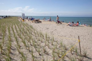 Replanting at Bend in the Road Beach, Martha's Vineyard