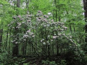 Mountain-laurel in flower in Maryland.