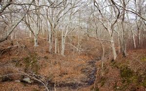 Beeches on Gay Head Moraine terrain. Photo: David R. Foster