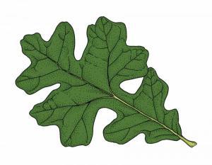 """Maltese cross"" shape of the post oak leaf"