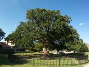 Spreading post oak in Texas