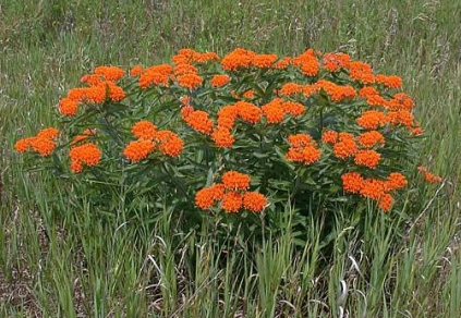 https://www.minnesotawildflowers.info/flower/butterfly-weed