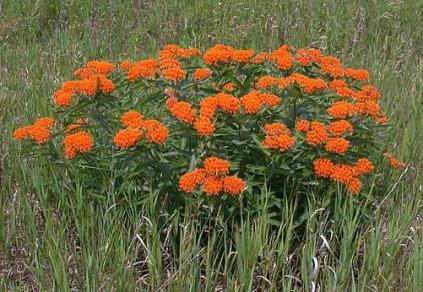 https://www.minnesotawildflowers.info/flower/butterfly-weed